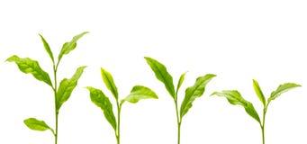 зеленый чай листьев Стоковые Изображения RF