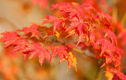 Красные японские кленовые листы на падении Стоковое Изображение