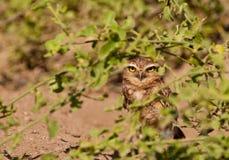 挖洞隐藏的猫头鹰 免版税库存照片