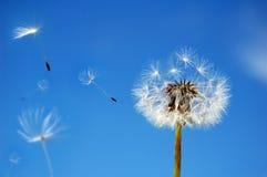 ветер одуванчика Стоковое Изображение