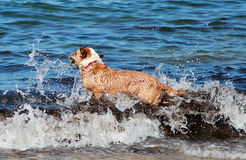 狗游泳 库存照片