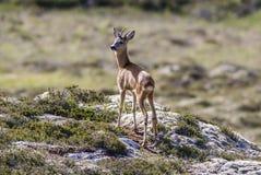 鹿 免版税库存图片