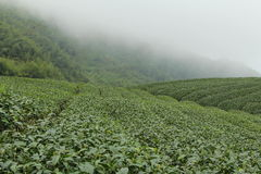 种田台湾茶 库存图片