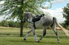 起斑纹的灰色马 免版税图库摄影