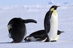 пингвин группы императора Стоковые Фотографии RF
