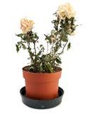干退色的罐玫瑰色  免版税库存照片