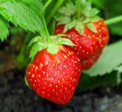 工厂草莓 图库摄影