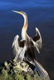 美洲蛇鸟,澳洲 免版税图库摄影