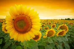 Поле солнцецвета Стоковые Изображения