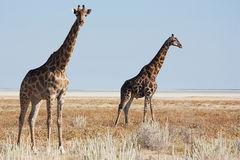 二长颈鹿 图库摄影