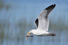 海角与鱼的海带鸥 免版税库存图片
