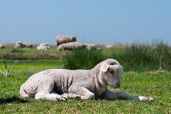 在草的幼小绵羊 库存图片