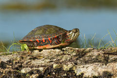 与其行程的被绘的乌龟被卷起到其壳 图库摄影