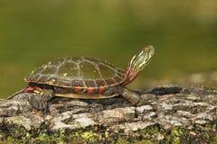 内地取暖在日志的被绘的乌龟 免版税图库摄影