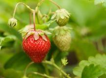 草莓灌木 免版税库存图片