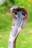 眼镜王蛇 库存照片