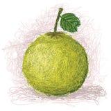 柚 免版税图库摄影