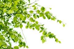 Ветвь березы Стоковое Изображение