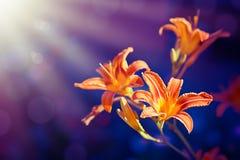 Цветки лилии   Стоковая Фотография RF