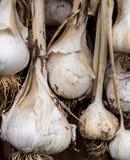 Ξήρανση βολβών σκόρδου Στοκ Φωτογραφίες
