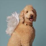 逗人喜爱的天使长卷毛狗 库存照片
