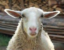 微笑的绵羊 库存图片