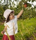 女孩挑选苹果 库存图片