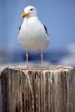 坚忍的海鸥 免版税库存照片