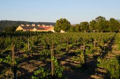 葡萄获得成熟在葡萄园里 免版税库存图片