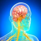 题头和脑子神经系统在蓝色的 免版税图库摄影