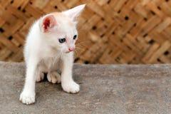 美好空白色的新小猫凝视 库存图片