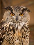 明智猫头鹰的纵向 图库摄影