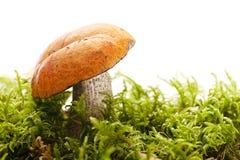 橙色盖帽在森林场面的牛肝菌蕈类蘑菇 库存图片