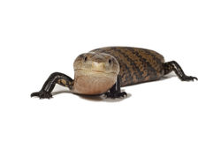 小爬行动物。 免版税图库摄影