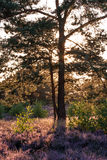 在美好的石南花横向的一个结构树 免版税库存图片