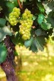 Итальянский виноградник Стоковое Изображение