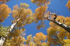 白杨木颜色秋天耸立 库存照片