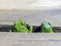 和平的雨蛙对 免版税库存图片