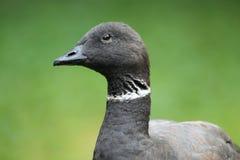 和平的黑雁鹅 免版税库存照片