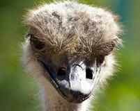 骆驼鸟纵向 免版税库存照片