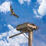 被激怒的成人白鹭的羽毛飞行在嵌套平台 免版税库存图片