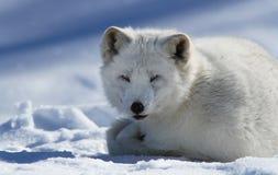 Ледовитая лисица Стоковые Фотографии RF