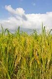 多云与黄色稻田。 库存图片