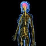 与脑子的女性身体神经系统解剖学  免版税图库摄影