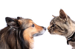 Μύτη στη μύτη γάτα και σκυλί Στοκ φωτογραφία με δικαίωμα ελεύθερης χρήσης