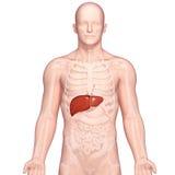 人力肝脏解剖学的例证  库存照片