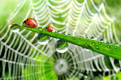 露水和瓢虫 免版税图库摄影