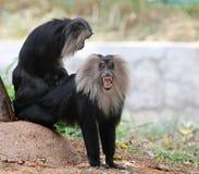 危险的,地方性印第安猿狮子被盯梢的短尾猿 图库摄影