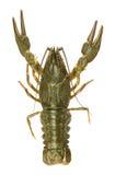 小龙虾运行一个 免版税库存图片