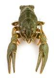 小龙虾运行一个 免版税图库摄影
